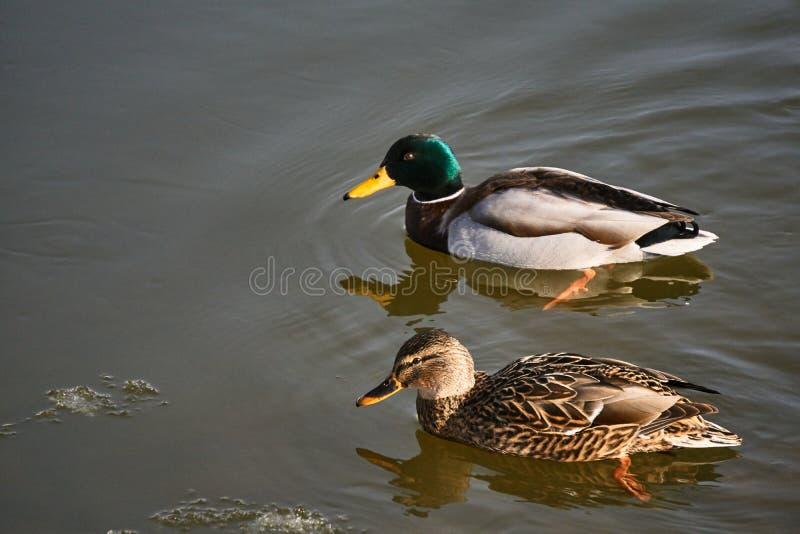 Canard femelle et masculin de canard flottant sur le lac photo libre de droits