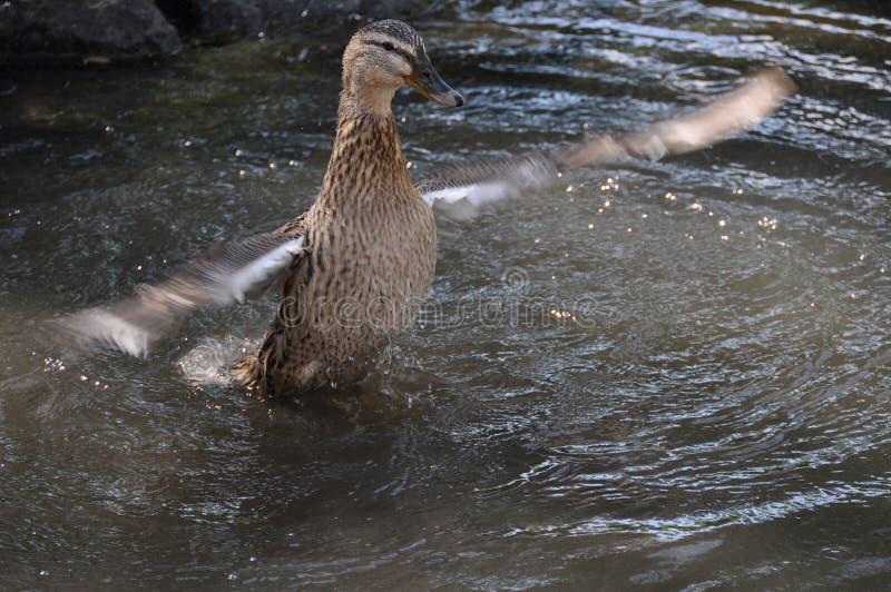 Canard femelle prêt pour le décollage photographie stock libre de droits