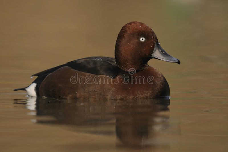 Canard ferrugineux, nyroca d'Aythya images stock