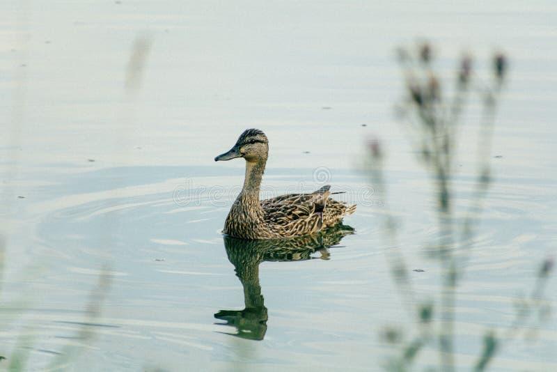 Canard flottant sur le plan rapproché de l'eau avec la réflexion images stock