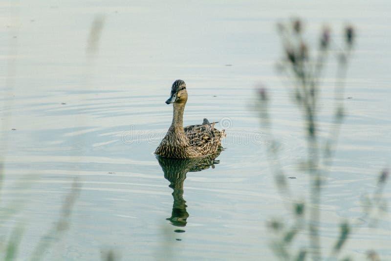 Canard flottant sur le plan rapproché de l'eau avec la réflexion photos stock