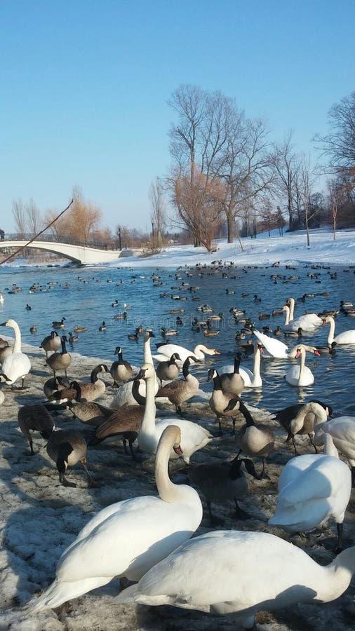 Canard le lac Érié photographie stock libre de droits