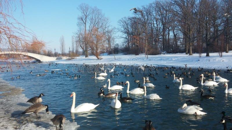 Canard le lac Érié photo stock