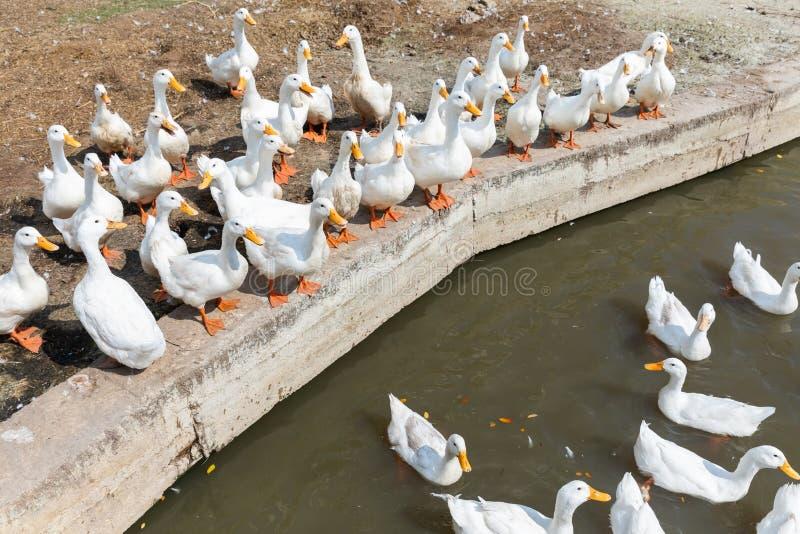 Canard libre de gamme dans la ferme images stock