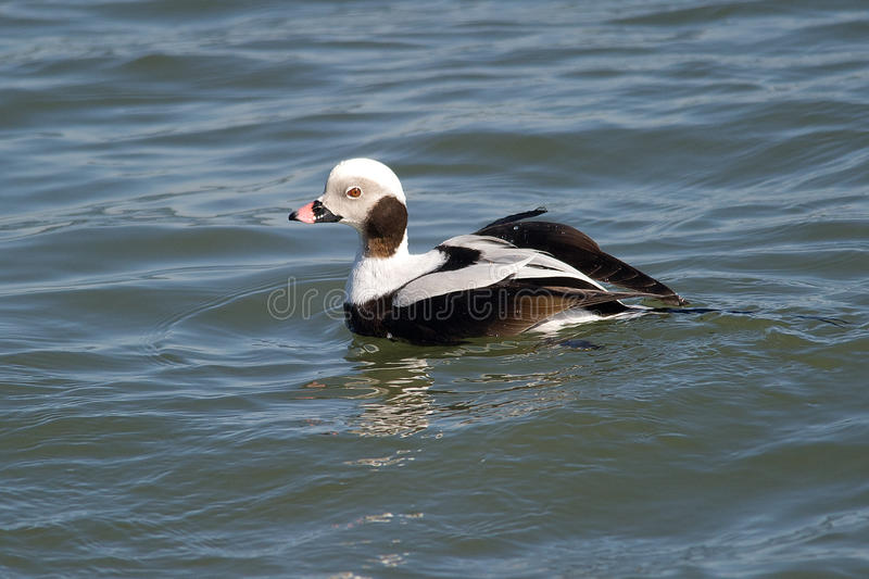 Canard Long-tailed images stock