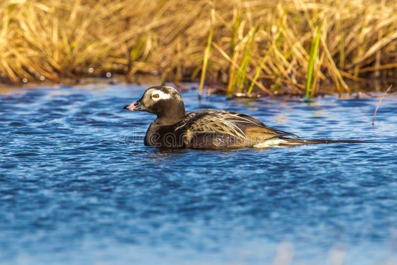 Canard Long-tailed images libres de droits