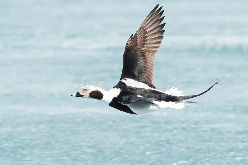Canard Long-tailed photos libres de droits