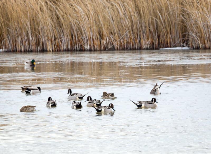 Canard pilet du nord photographie stock libre de droits