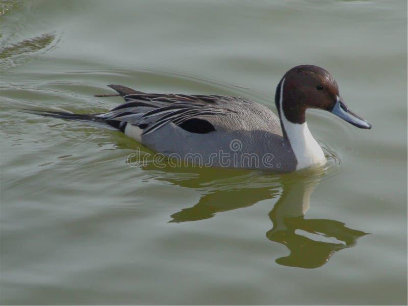 Canard pilet du nord de George Reifel Bird Sanctuary photos stock