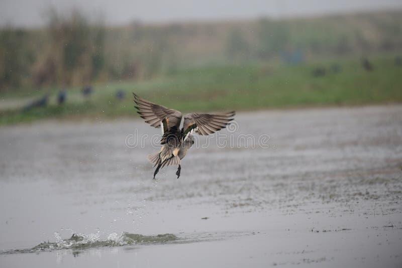Canard pilet du nord, faune, oiseau migrateur, oiseaux, éclaboussure, mangaljodi, Odisha images stock