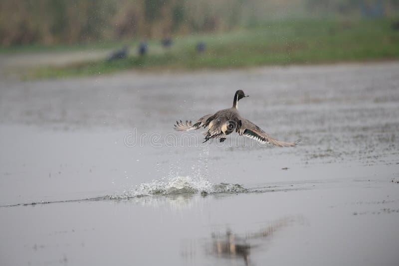 Canard pilet du nord, faune, oiseau migrateur, oiseaux, éclaboussure, mangaljodi, Odisha photographie stock libre de droits