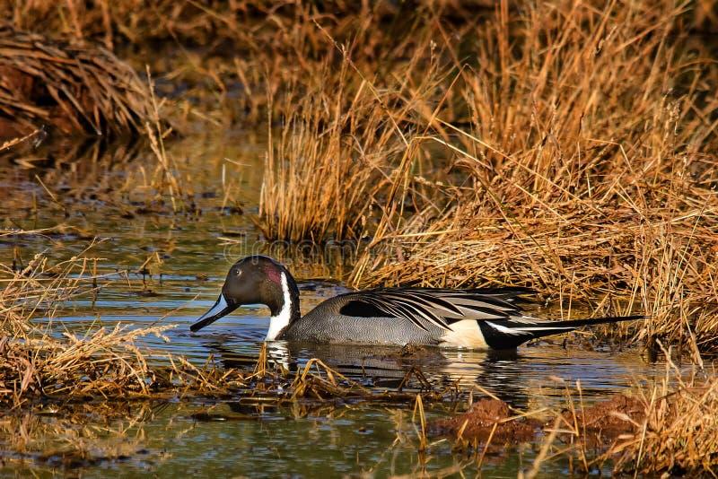 Canard pilet masculin dans le marais dans l'automne images libres de droits