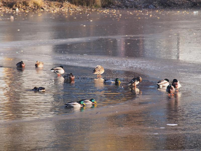 Canard Plusieurs canards éclaboussant dans l'eau Plusieurs canards marchent sur la glace photo libre de droits