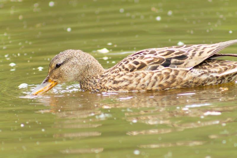 Canard recherchant la nourriture dans l'eau images stock