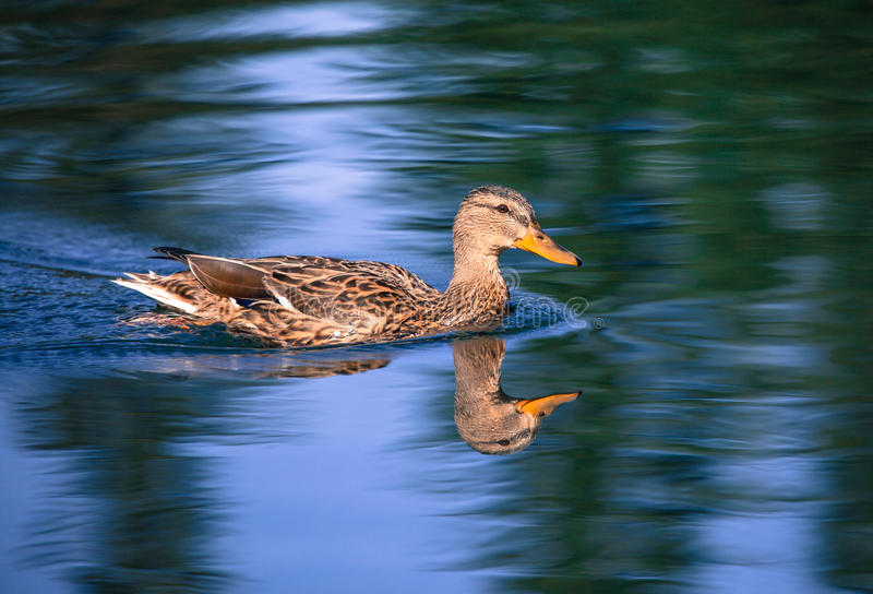 Canard sauvage images stock