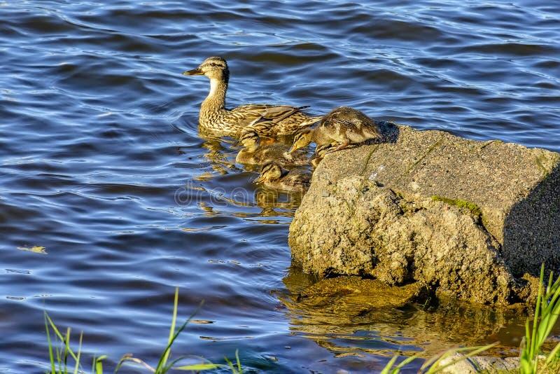 Canard sauvage avec une couvée des canetons sur la rivière de Neva dans l'urg photographie stock libre de droits