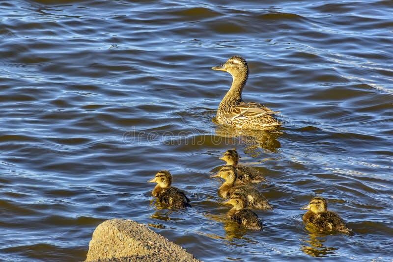 Canard sauvage avec une couvée des canetons sur la rivière de Neva dans l'urg photo stock