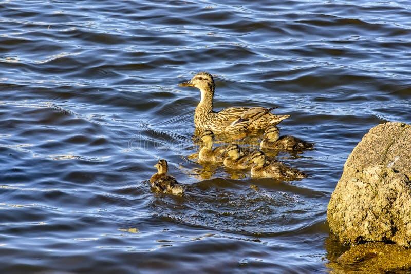 Canard sauvage avec une couvée des canetons sur la rivière de Neva dans l'urg photos stock