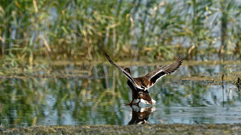 Canard sauvage dans le delta de Danube image stock