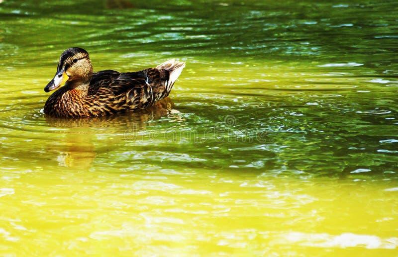 Canard sauvage repéré sur la surface images stock
