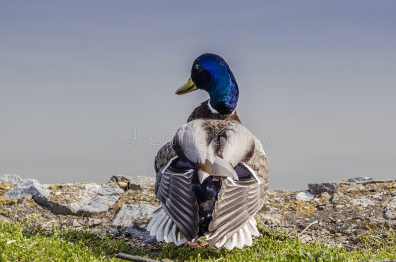 Canard sauvage se reposant au bord de l'eau photo stock