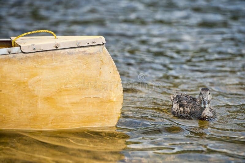 Canard sauvage tout en nageant photos libres de droits