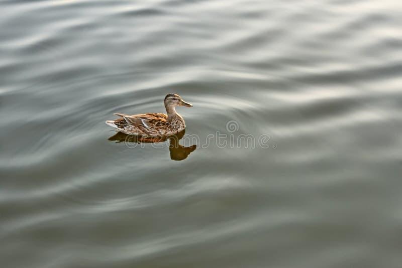 Canard seul sur l'eau calme photos libres de droits