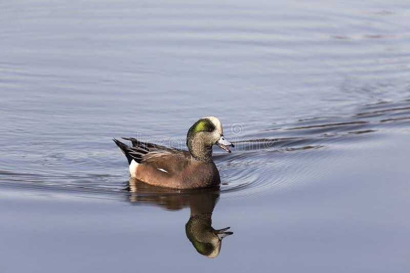 Canard siffleur américain/canard siffleur photos libres de droits