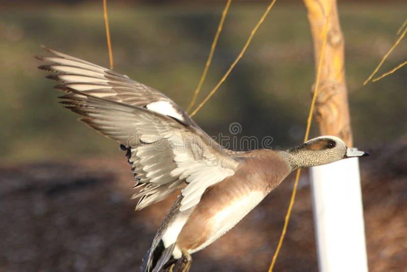Canard siffleur américain femelle en vol image libre de droits