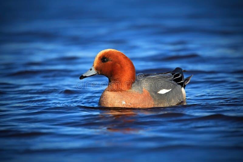 Canard siffleur eurasien, penelope d'ana, oiseau brun dans l'eau bleu-foncé, habitat de lac, Suède images stock