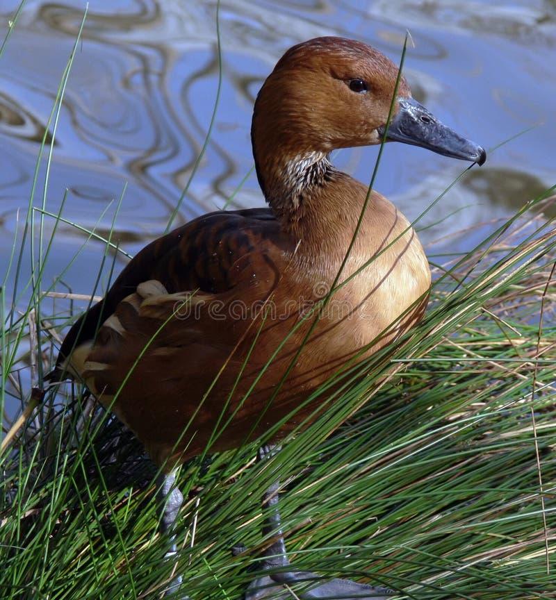 Canard siffleur fauve images stock