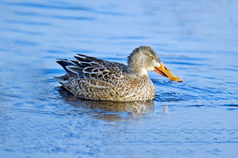 Canard souchet nordique image libre de droits