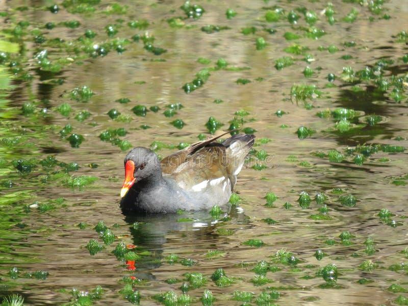 Canard sur l'étang photos stock