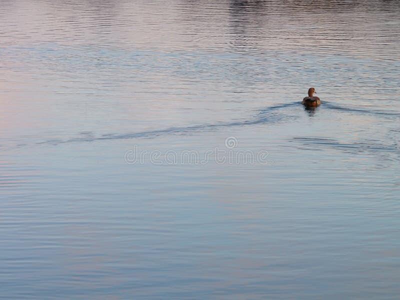 Canard sur l'eau photographie stock