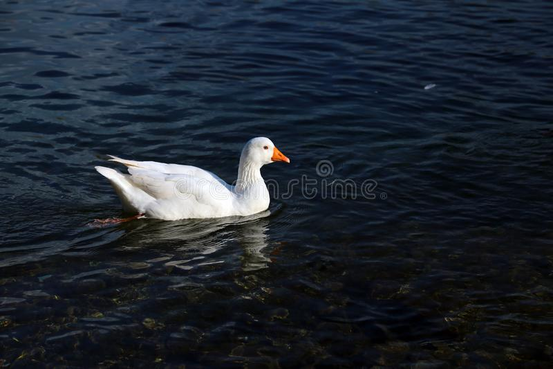 Canard sur la mer images stock