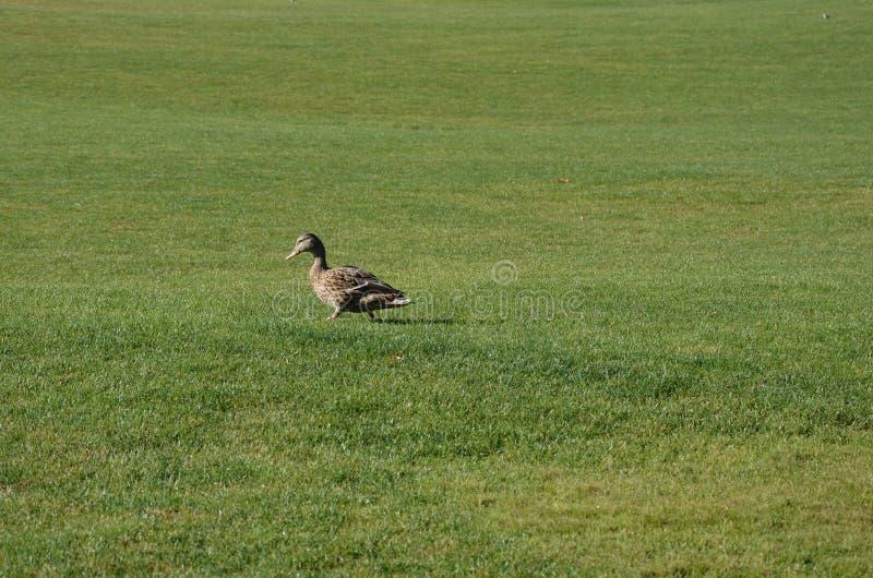 Canard sur la pelouse photo stock
