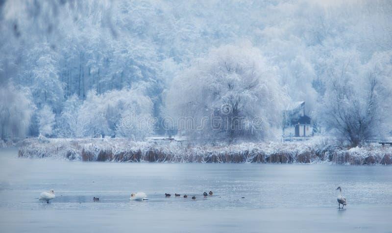Canard sur le lac congelé image stock