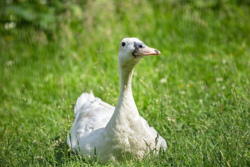 Canard sur une pelouse verte images libres de droits