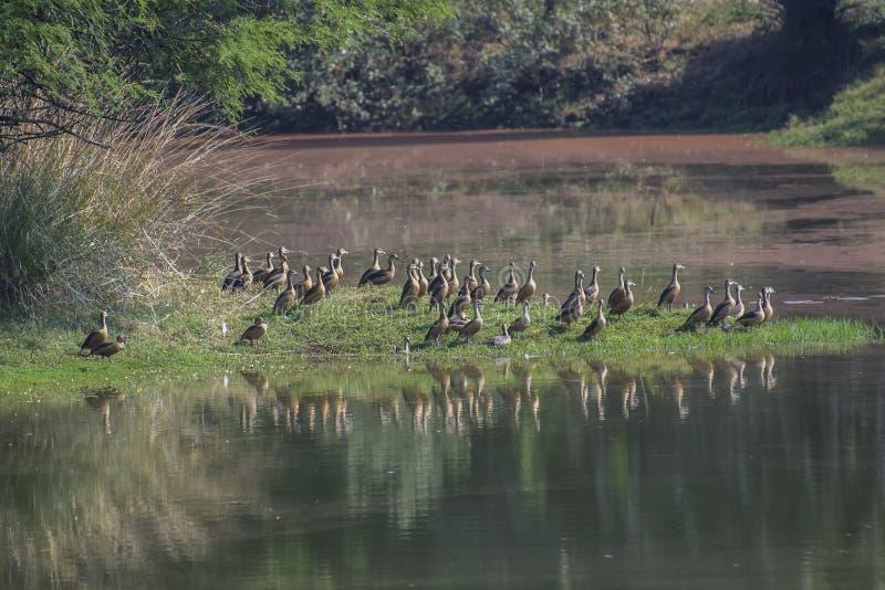 Canards à l'étang images stock
