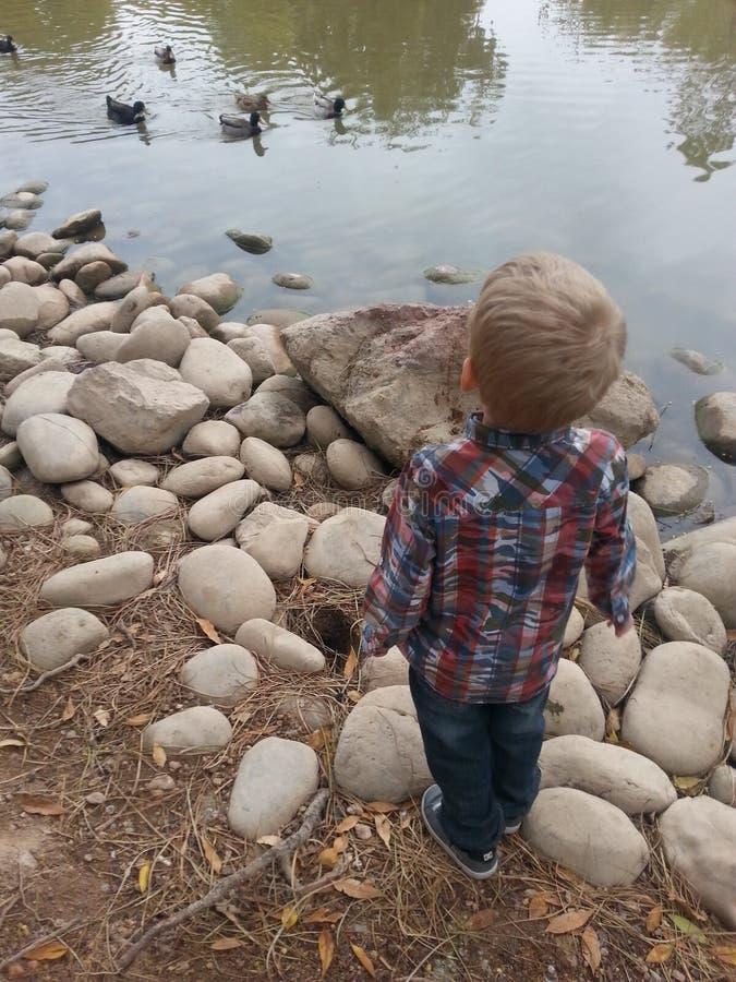 Canards à l'étang photo stock