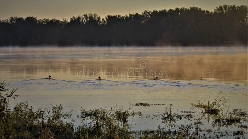 Canards à l'aube photo libre de droits