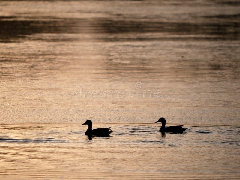 Canards à la petite partie non gelée du lac, égalisant le soleil photographie stock