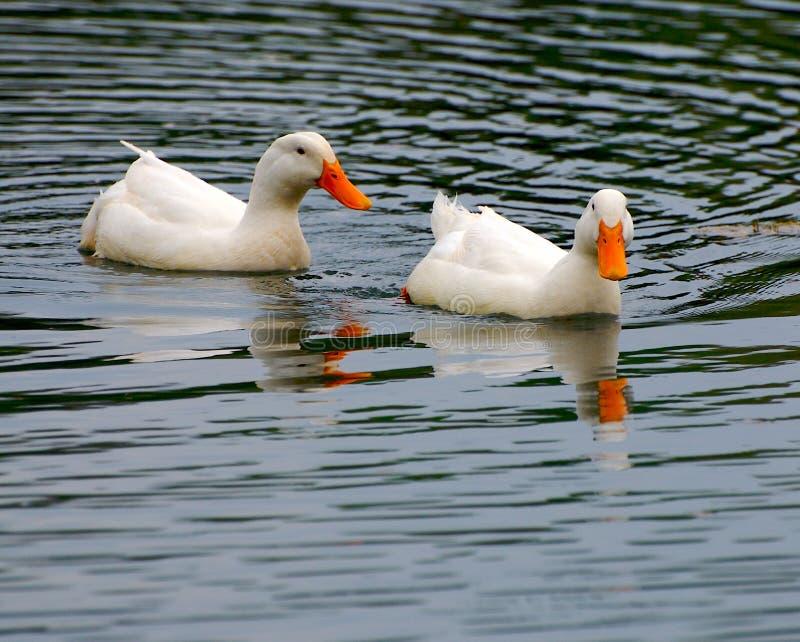 Canards photos libres de droits