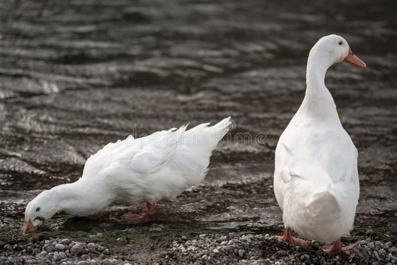 Canards blancs images libres de droits