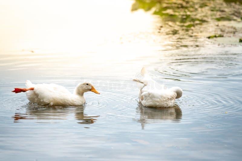 Canards blancs de couples sur un lac de l'eau Américain Pekin qu'il dérive des oiseaux apportés aux Etats-Unis de Chine dans la d photographie stock