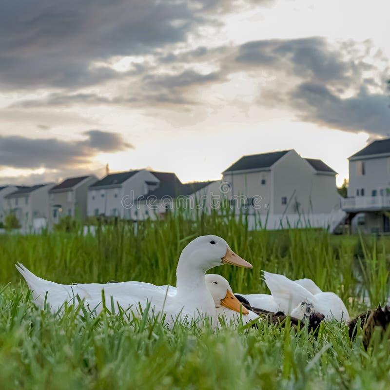 Canards blancs de place et canetons bruns contre des herbes et étang vu un jour nuageux image stock