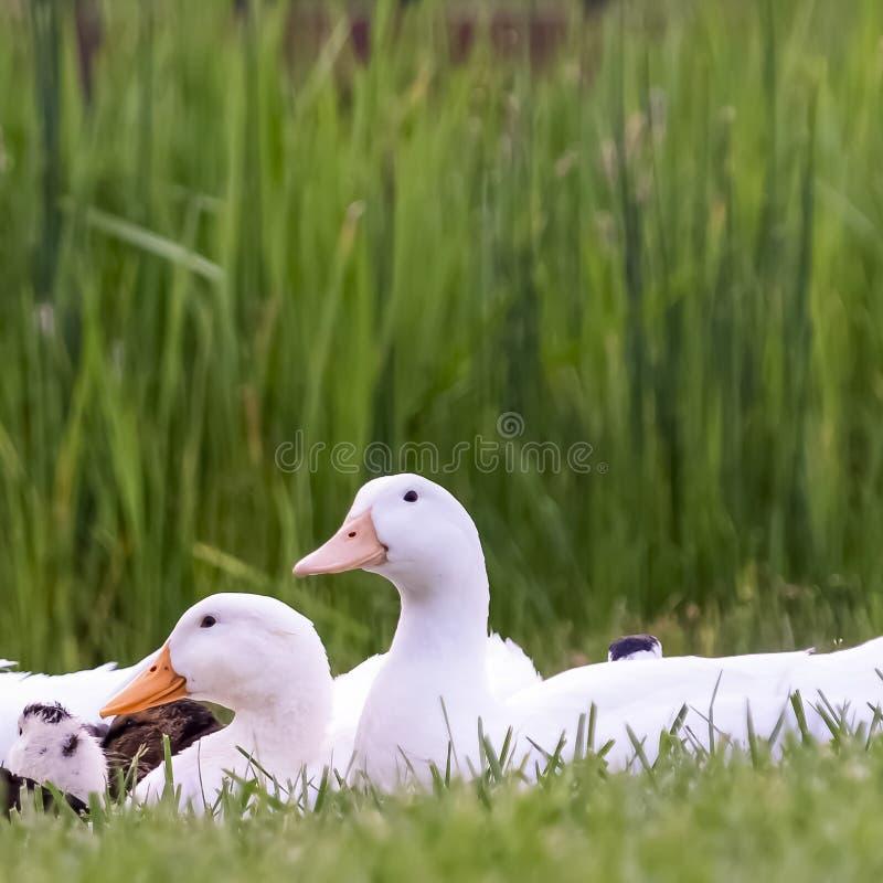 Canards blancs et bruns de place contre les herbes vertes vives et étang brillant avec le pont photo stock