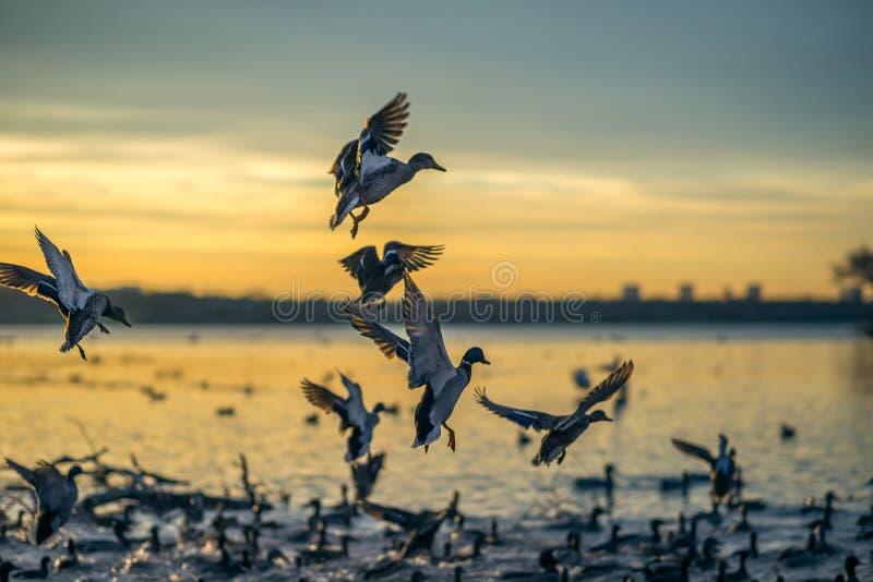 Canards débarquant au coucher du soleil images stock