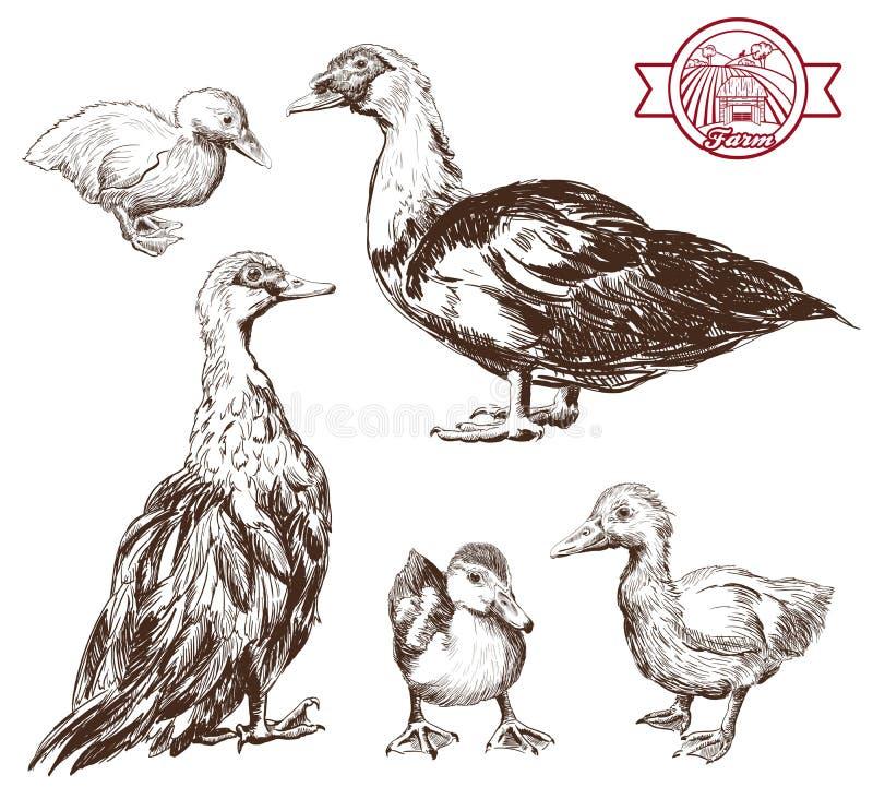 Canards d'élevage illustration stock