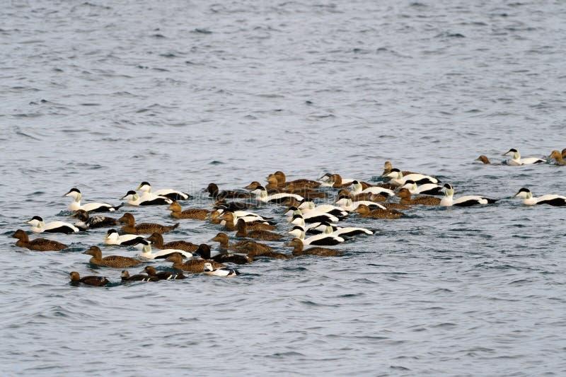 Canards d'Eider nageant images libres de droits